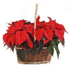 Cesta 2 Poinsettias